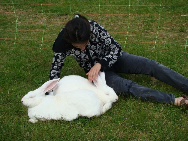 Le g ant blanc du bouscat un lapin formidable ferme - Le geant du cintre ...